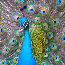 proudpeacock